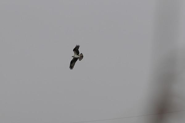 Osprey in Douglaston