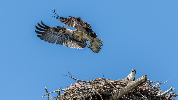 Osprey landing practice