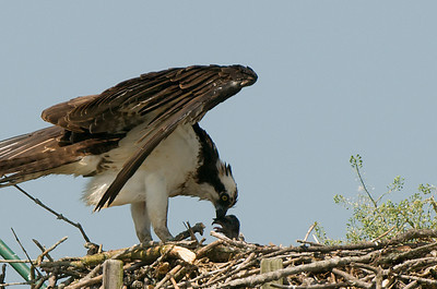 Osprey feeding one of two young Osprey. Estimating one to two weeks old.