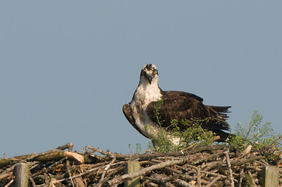 Osprey guarding young - Hoover Reservoir, Ohio