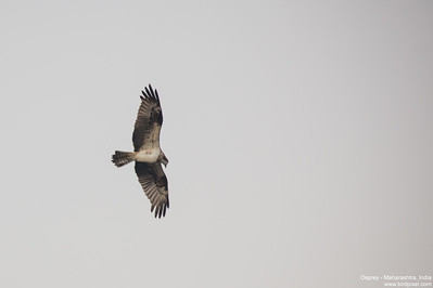 Osprey - Maharashtra, India