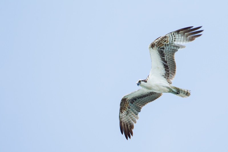 Osprey - Brownsville, TX, USA