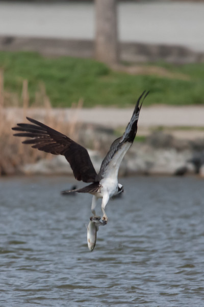 Osprey - Hellyer Park, San Jose, CA, USA