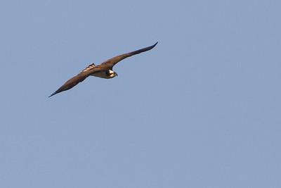Osprey - Nome, AK, USA