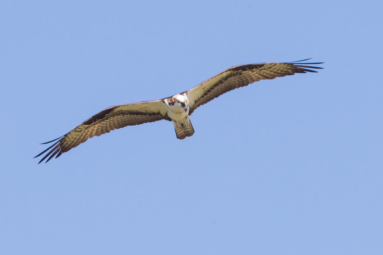 Osprey - Marble Hot Springs, Sierra Valley, CA, USA