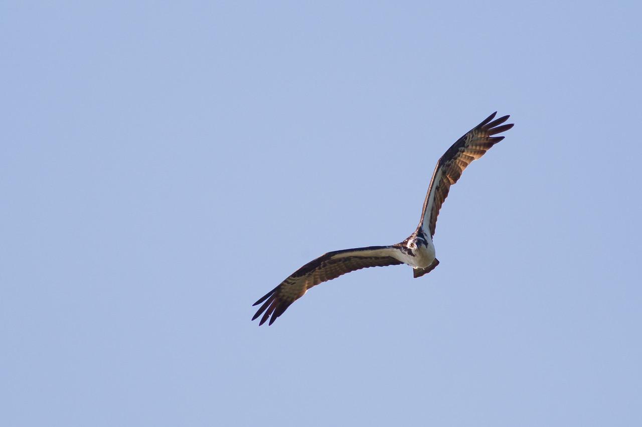 Osprey - Sierra Valley, CA, USA