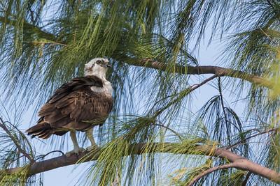 Osprey - Caye Caulker, Belize