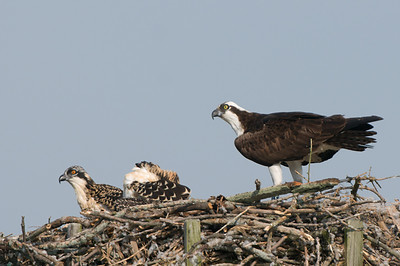 Osprey  Juveniles are about 5 to 6 weeks old.