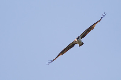 Osprey - Sierra Valley, CA, USA