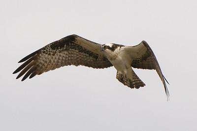 Osprey (Ohio - April 2011)