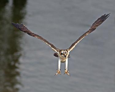 Osprey Female Fledgling