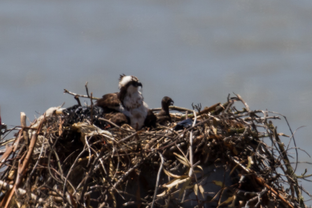 Female with nestlings, Cal Maritime Academy