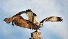 Osprey-The Chase is On