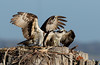 Male and Female Osprey on Nest
