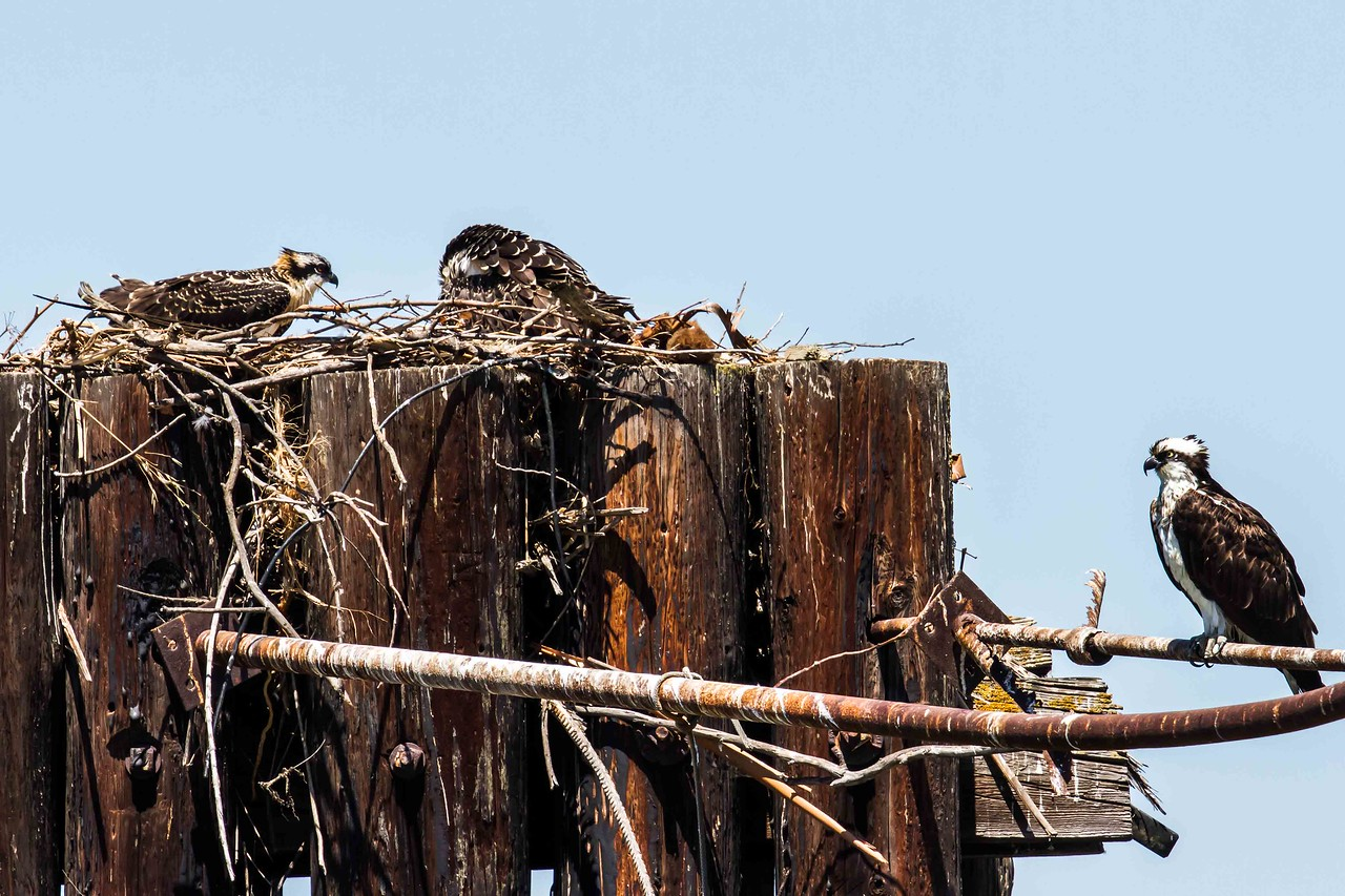 Female with nestlings (soon to fledge), Vallejo waterfront