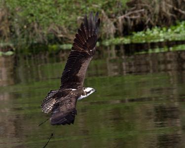 Osprey     www.wklein.smugmug.com