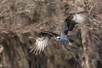 Another shot from my recent trip to photograph the Owls. Watching this Osprey return several times with nesting material was a bonus to what was already a great day.