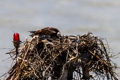 Female feeding nestlings, Cal Maritime Academy
