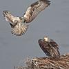 Osprey   Fledglings