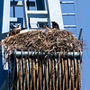 Two nestlings, Mare Island