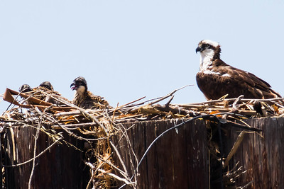 Female with 3 nestlings, Vallejo waterfront