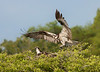 Osprey- Nesting Pair-Blue Lake Cypress, Florida