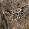 Osprey returning with nesting material