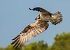Osprey in Flight- Blue Cypress Lake, Florida