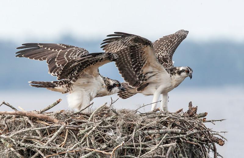 Osprey Pair on Nest