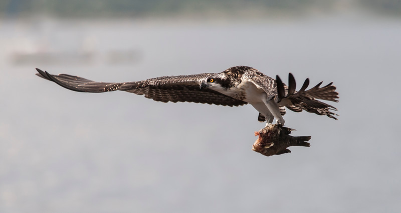 Fledgling with Fish