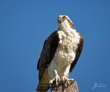 Osprey Female