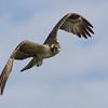 """Osprey      <a href=""""http://www.wklein.smugmug.com"""">http://www.wklein.smugmug.com</a>"""