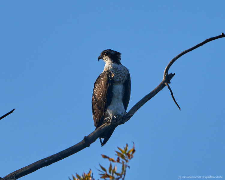 Osprey perched high in the tree as the sun begins to set.