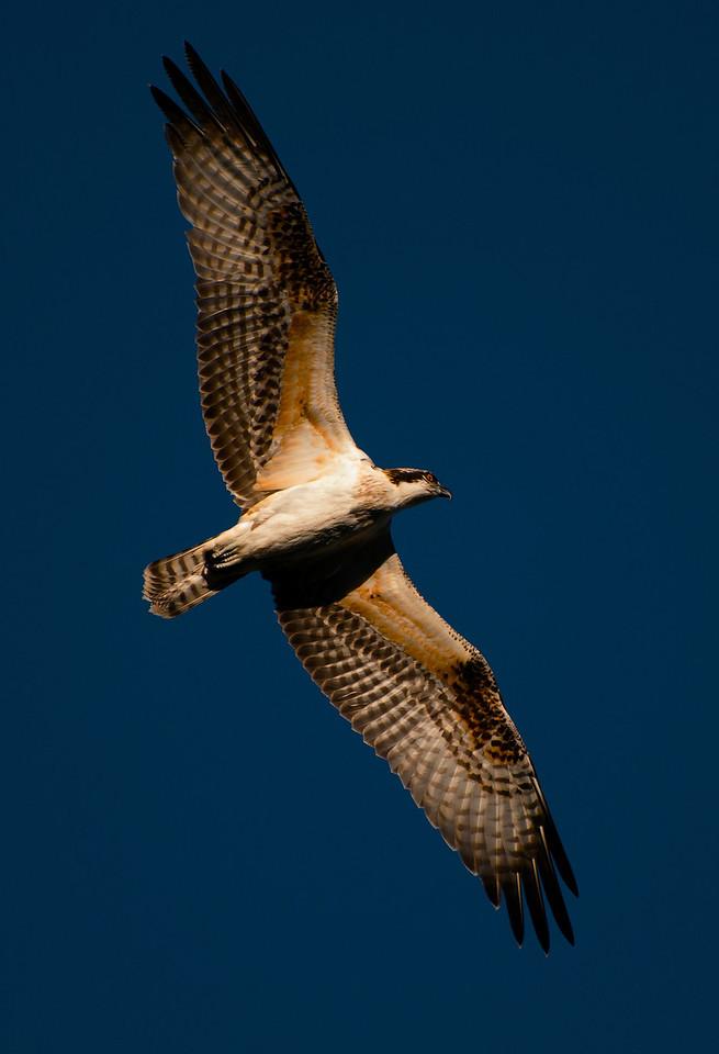 Osprey<br /> Lynx Lake, Prescott, Arizona