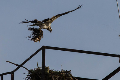 Female with nest material, Red Oak Victory Ship crane, Richmond