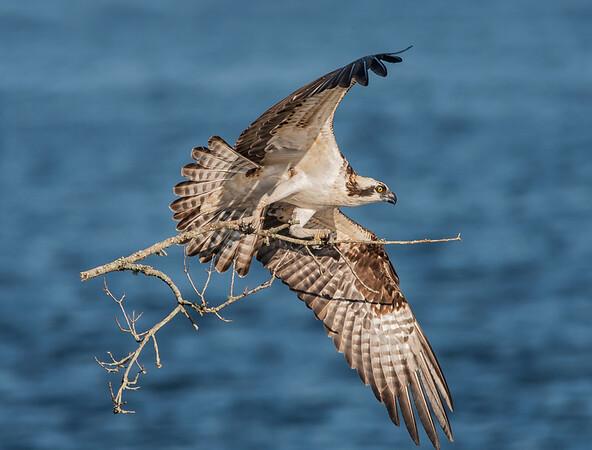 Bringing in the Nest Sticks