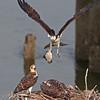 Osprey   Fledglings & Female  flying in with dinner
