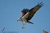 The Approach.  Osprey at Mason Neck Wildlife Refuge.