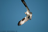 Osprey at Mason Neck Wildlife Refuge.