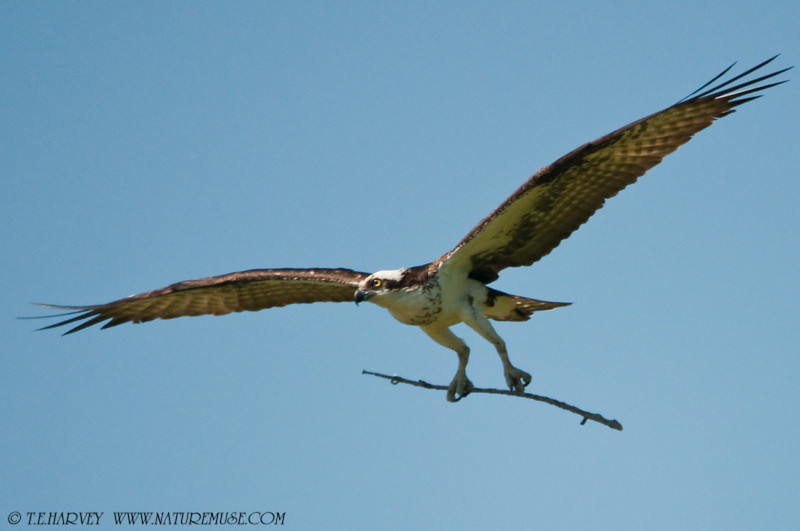 A twig for the Lady. Osprey at Mason Neck Wildlife Refuge.
