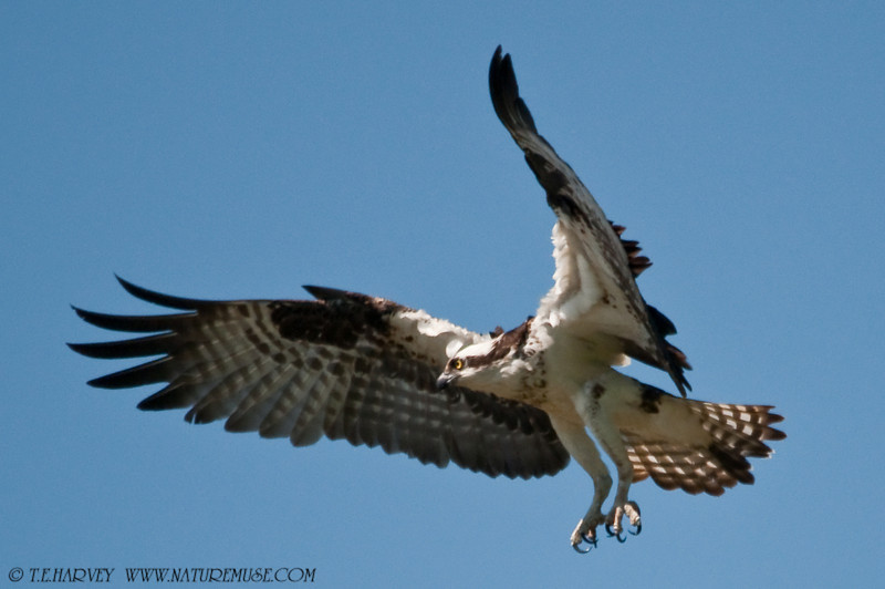 """Putting on the Brakes.""  Osprey at Mason Neck Wildlife Refuge"