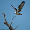 Osprey at Mason Neck Wildlife Refuge