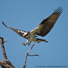 Ready to Grasp. Osprey at Mason Neck Wildlife Refuge