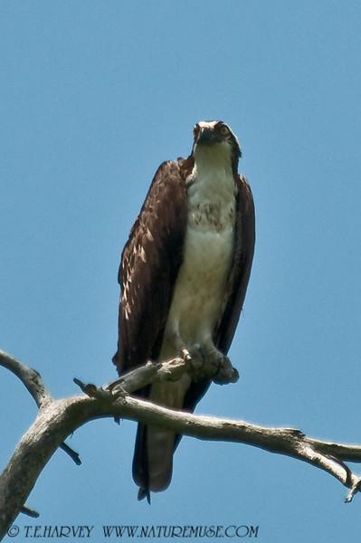 An Osprey perched at Kane's Creek, Mason Neck State Park.