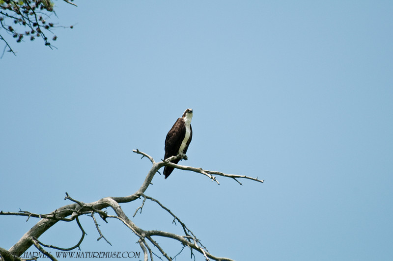 An Osprey perched at Kane's Creek, Mason Neck State Park.