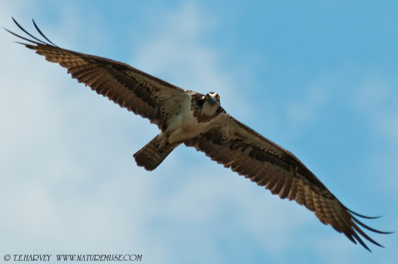 An Osprey at Kane's Creek, Mason Neck State Park.