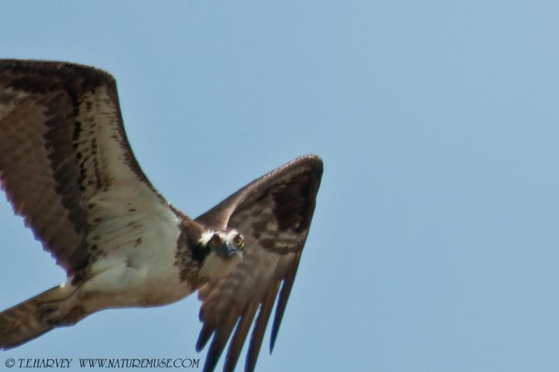 An Osprey at Kane's Creek, Mason Neck State Park.