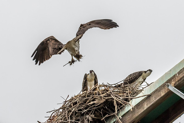 Ospreys with the new EF 100-400