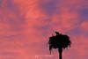 Ospreys at sunset
