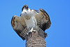 Osprey defending turf (another was flying by)